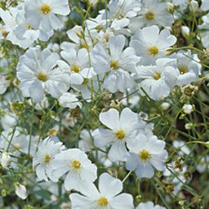 éden Sementes De Flor Mosquitinho Branco 20 Sementes
