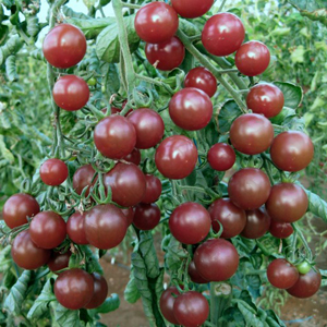 den sementes de tomates black cherry 20 sementes. Black Bedroom Furniture Sets. Home Design Ideas