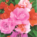 Sementes de Flor - Beijo de Frade Sortido  20 Sementes b0be1771a82